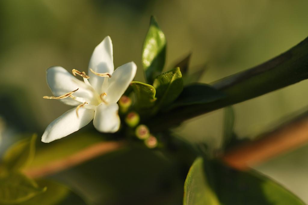 Flor de café aberta